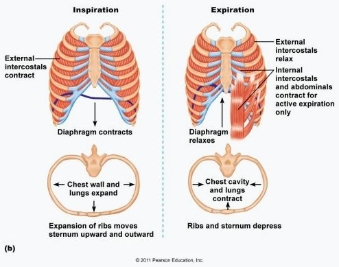 breathing-muscles-inhale-exhale